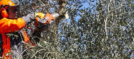 When and how to pick olives